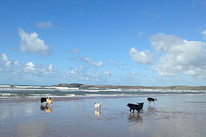 walking dogs, Newborough beach, Anglesey